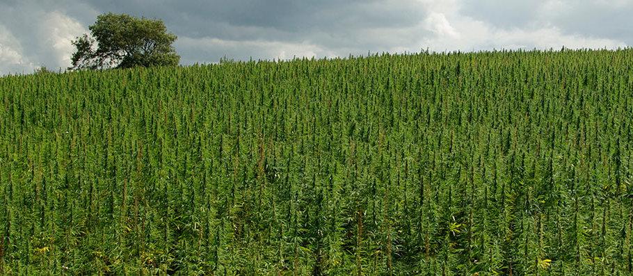 rozdiel medzi konope a marihuanou