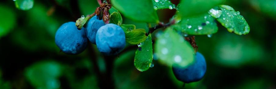 čučoriedky ako antioxidantová bomba