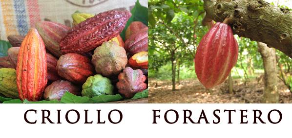 Criollo najkvalitnejšie kakao