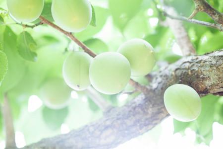 umebošky na strome v Japonsku