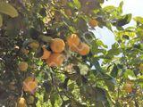 citrónovník zo Sicílie