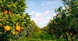 citrónový sad na Sicílii