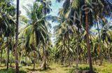 kokosové palmy na Srí Lanke